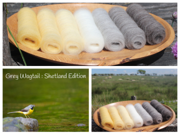 Grey Wagtail - Shetland Edition